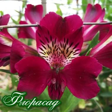 Альстромерія Emotion (1 рослина в контейнері) опис, характеристики, відгуки