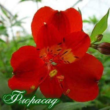 Альстромерия Fuego (1 растение в контейнере) описание, отзывы, характеристики