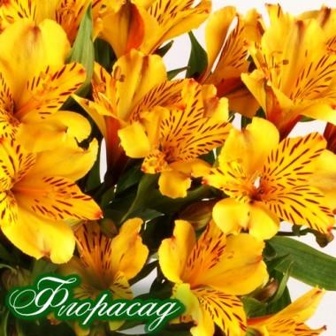 Альстромерия Malaga (1 растение в контейнере) описание, отзывы, характеристики