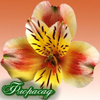Альстромерия Provence (1 растение в контейнере) описание, отзывы, характеристики