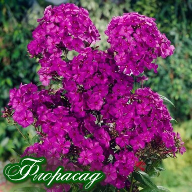 Флокс волотистий paniculata Nicky (1 рослина) опис, характеристики, відгуки