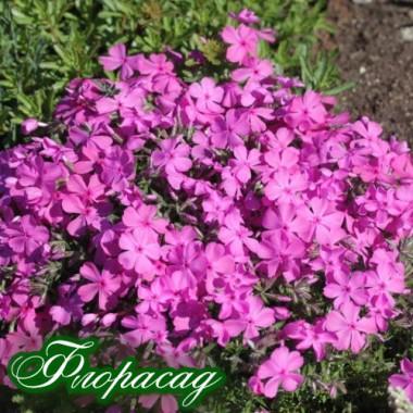 Флокс шиловидный розовый (1 растение в контейнере) описание, отзывы, характеристики