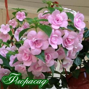 Ахіменес Double Pink Rose (1 рослина) опис, характеристики, відгуки