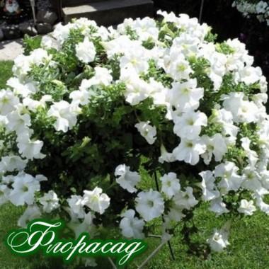 Діпладенія Classic White (1 саджанець) опис, характеристики, відгуки