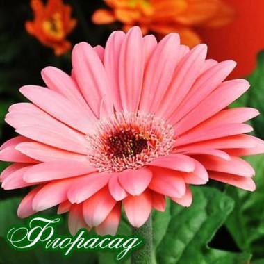 Гербера Джеймсона рожева (1 рослина в контейнері) опис, характеристики, відгуки