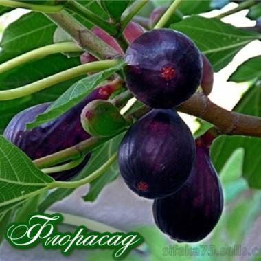 Инжир крымский фиолетовый (1 саженец) описание, отзывы, характеристики
