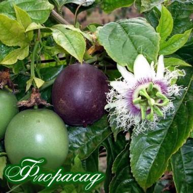 Маракуйя бразильская (пассифлора съедобная) (1 саженец) описание, отзывы, характеристики