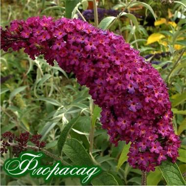 Буддлея Давида Royal Red (1 рослина в контейнері) опис, характеристики, відгуки