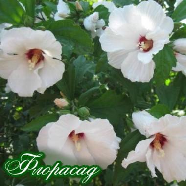 Гибискус сирийский белый (1 растение) описание, отзывы, характеристики