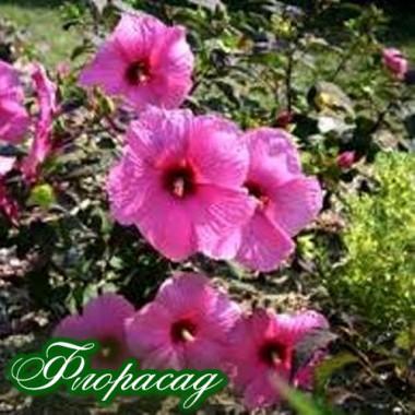 Гибискус сирийский розовый (1 растение) описание, отзывы, характеристики