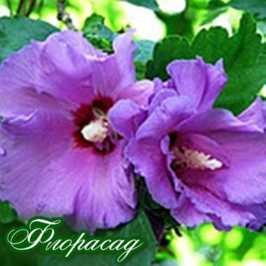 Гібіскус сирійський бузковий (1 рослина) опис, характеристики, відгуки