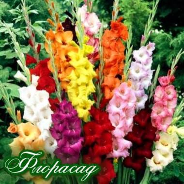 Гладіолус   великоквітковий суміш (20 цибулин) опис, характеристики, відгуки