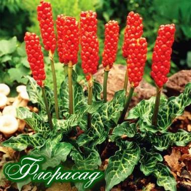 Арум Italicum marmoratum (1 луковица)  описание, отзывы, характеристики