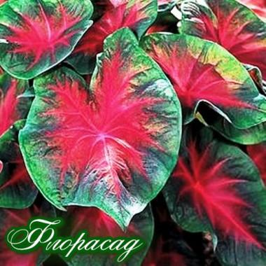 Каладіум Fancy leaf Cardinal (1 цибулина) опис, характеристики, відгуки