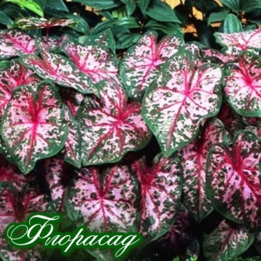 Каладіум Fancy leaf Carolyn Whorton (1 цибулина) опис, характеристики, відгуки