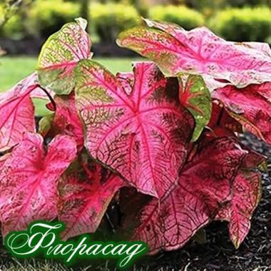 Каладиум Fancy leaf Fannie Munson (1 луковица)  описание, отзывы, характеристики