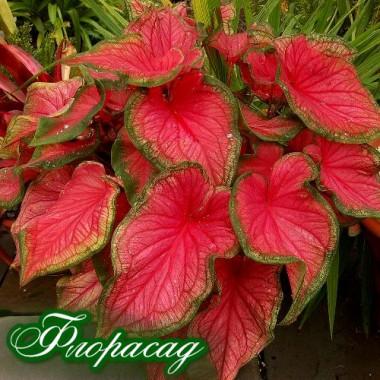Каладіум Fancy leaf Freida Hemple (1 цибулина) опис, характеристики, відгуки