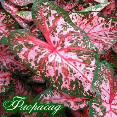 Каладиум Fancy leaf Pink Beauty (1 луковица)  описание, отзывы, характеристики