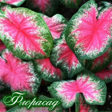 Каладиум Fancy leaf Rosebud (1 луковица)  описание, отзывы, характеристики