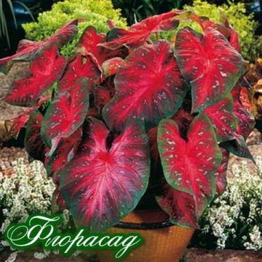 Каладиум Fancy leaf Red Flash (1 луковица)  описание, отзывы, характеристики