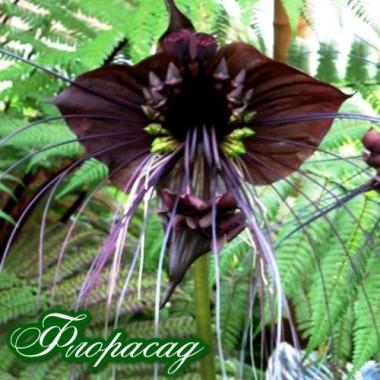 Такка chantieri Black (Черная летучья мышь) (1 клубень) описание, отзывы, характеристики