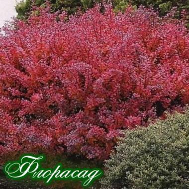 Барбарис Тунберга красный (1 растение) описание, отзывы, характеристики