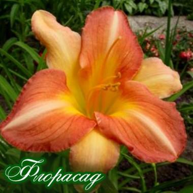 ГемерокалІс Cheeks Blushing (1 рослина) опис, характеристики, відгуки