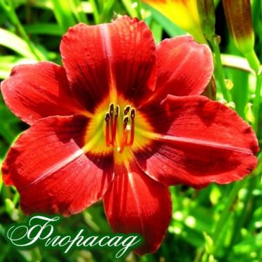 ГемерокалІс Red Rum  (1 рослина) опис, характеристики, відгуки