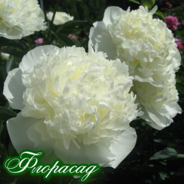Півонія Duchesse de Nemours опис, характеристики, відгуки