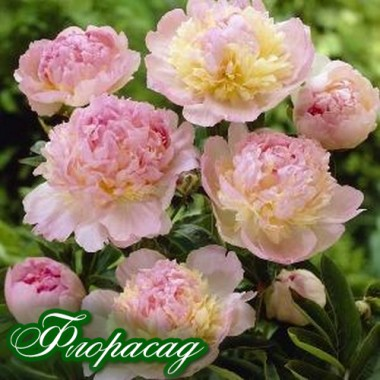 Пион Raspberry Sundae описание, отзывы, характеристики