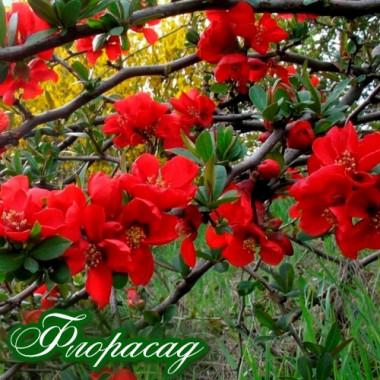Айва японська Fire Dance Crimson And Gold (1 рослина) опис, характеристики, відгуки