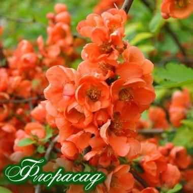 Айва японська Fire Dance Orange (1 рослина) опис, характеристики, відгуки