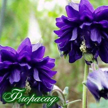 Аквілегія махрова синя (1 рослина в контейнері) опис, характеристики, відгуки