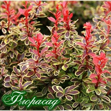 Барбарис Тунберга Coronita (1 растение) описание, отзывы, характеристики
