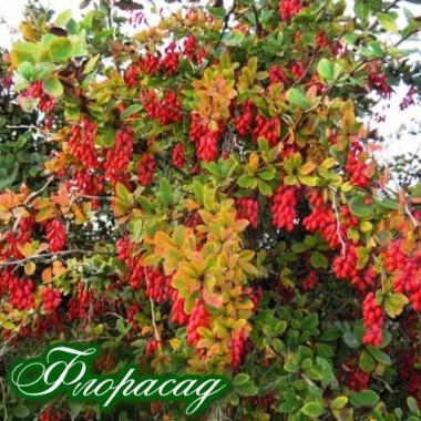 Барбарис плодовий (1 рослина) опис, характеристики, відгуки