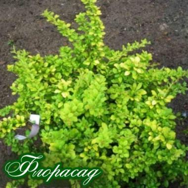 Барбарис Туеберга Сенсація (1 рослина) опис, характеристики, відгуки