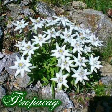 Едельвейс Альпійський (1 рослина) опис, характеристики, відгуки