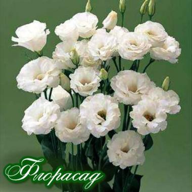 Эустома многолетняя махровая садовая белая (1 саженец) описание, отзывы, характеристики