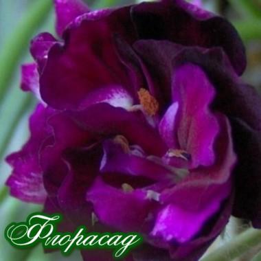 Эустома многолетняя махровая садовая пурпурная (1 саженец) описание, отзывы, характеристики