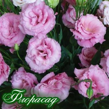 Эустома многолетняя махровая садовая розовая (1 саженец) описание, отзывы, характеристики