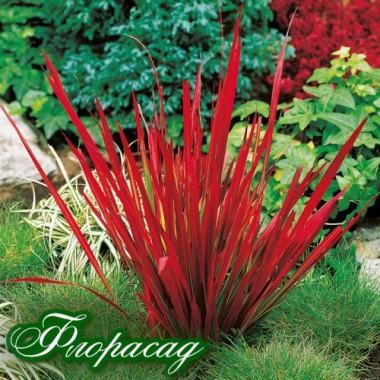 Імперата cylindrica Red Baron (1 рослина) опис, характеристики, відгуки