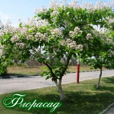 Катальпа бігонієвидна (1 рослина) опис, характеристики, відгуки