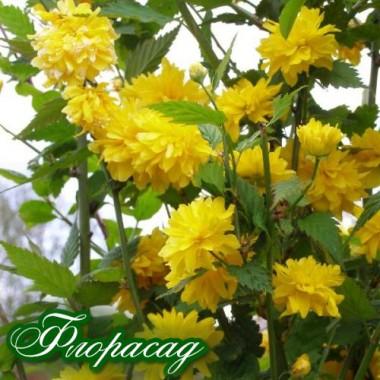 Керія Japonica Pleniflora (1 рослина) опис, характеристики, відгуки
