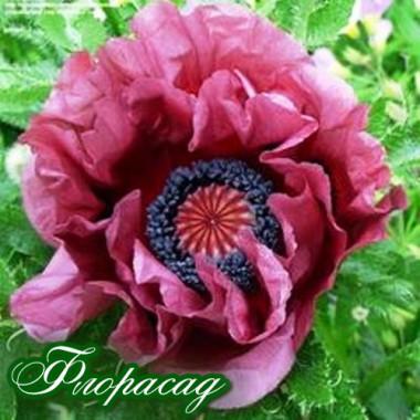 Мак многолетний Patty's Plum (1 растение) описание, отзывы, характеристики