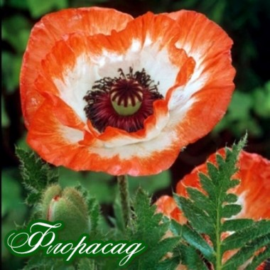 Мак многолетний Picotty (1 растение) описание, отзывы, характеристики