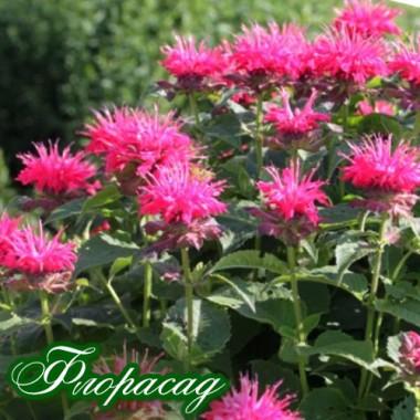 Монарда Croftway Pink (1 рослина) опис, характеристики, відгуки