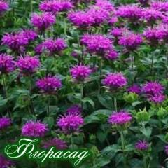 Монарда Knight Violet (1 растение)