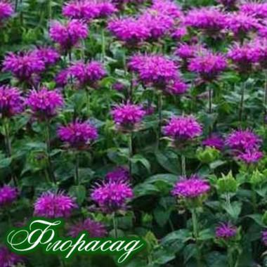 Монарда Knight Violet (1 рослина) опис, характеристики, відгуки