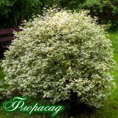 Самшит вариегатный Elegans (1 растение) описание, отзывы, характеристики