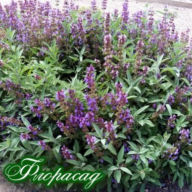 Шалфей лекарственный (1 растение) описание, отзывы, характеристики